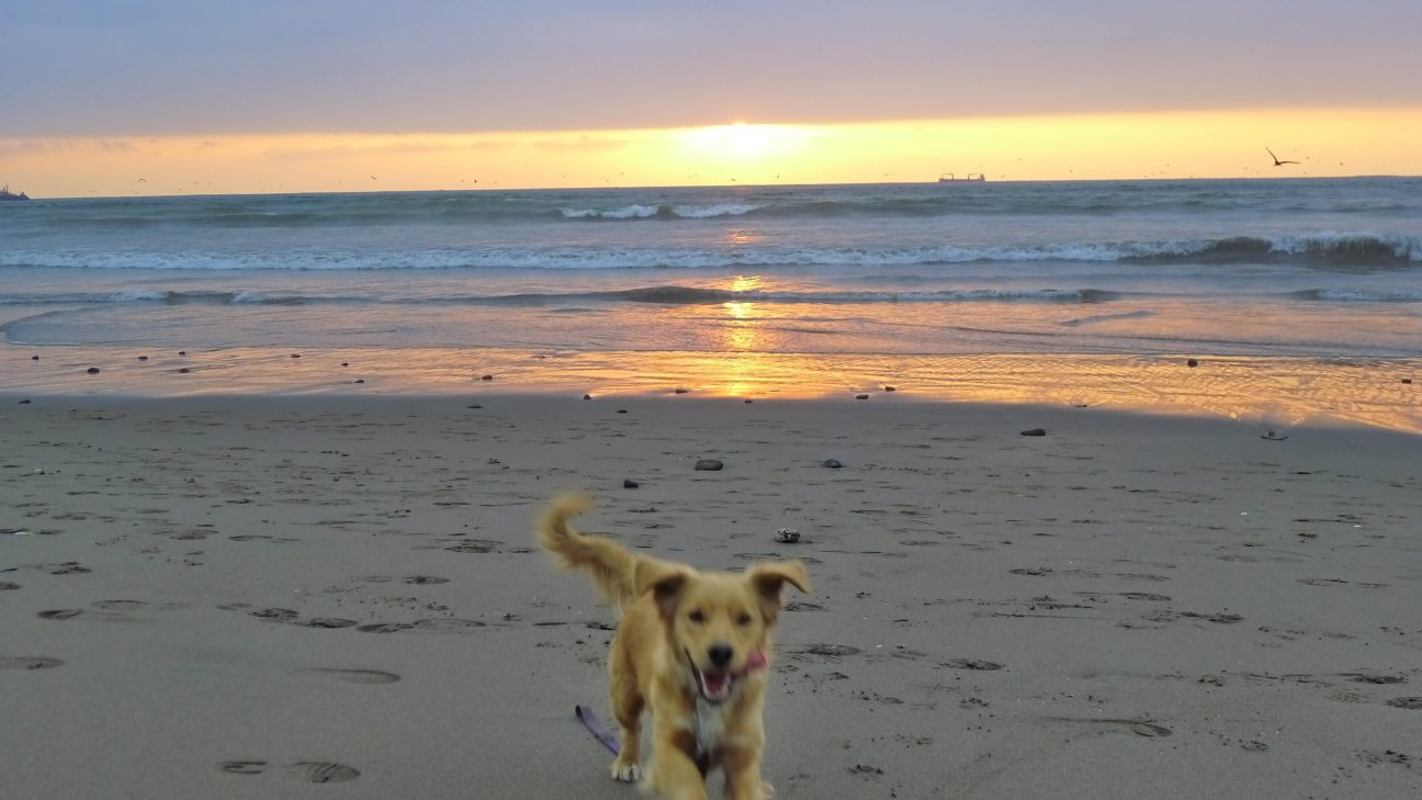 Dog runs on sandy beach at sunset